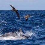 Yersin-EDM_Dolphins_birds_OBorde